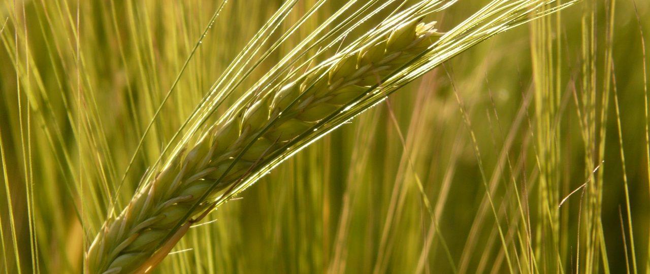 barley_field_barley_cereals (1280x960)